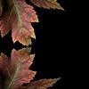 Maple Leaf, Negative Space