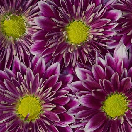 Chrysanthemum Squared