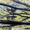 Ducks in Fall Colors II #351