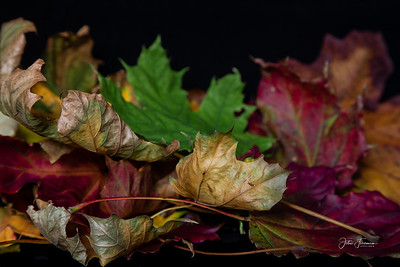 Autumnal Sycamore leaves