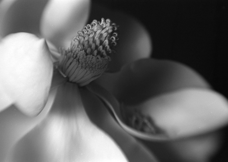 Magnolia Nº 2