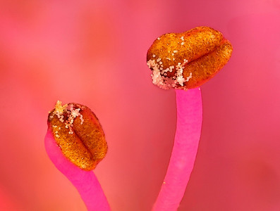 Stamen of rhododendron, to obtain a larger sharpness area focusstacking using 14 photos has been applied. Each photo has been made with magnification factor 4 and f/11.