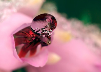 Frozen droplet on a little heath flower, photo has been made with magnification factor 4 and f/14.