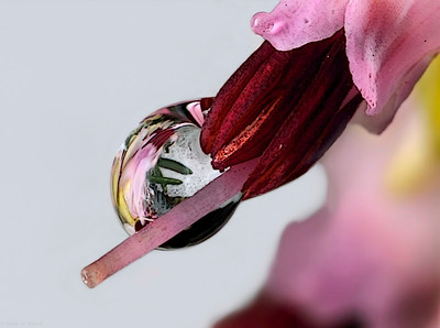 Reflecting droplet on a little heath flower, photo has been made with magnification factor 5 and f/13.