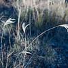 Feather fingergrass #6
