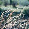Indian grass #1