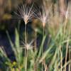 Foxtail barley #1