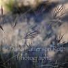 Feather fingergrass #5