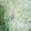 Indian grass #2