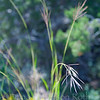 Feather fingergrass #3