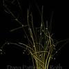 Oryzopsis hymenoides #3 (Indian ricegrass)