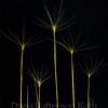 Hordeum jubatum #2 (foxtail barley)