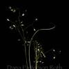 Oryzopis hymenoides #2 (Indian ricegrass)