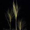 Hordeum jubatum #1 (foxtail barley)