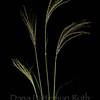 Chloris virgata #2 (feather fingergrass)