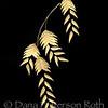 chasmanthium latifolium #8 (river oats)