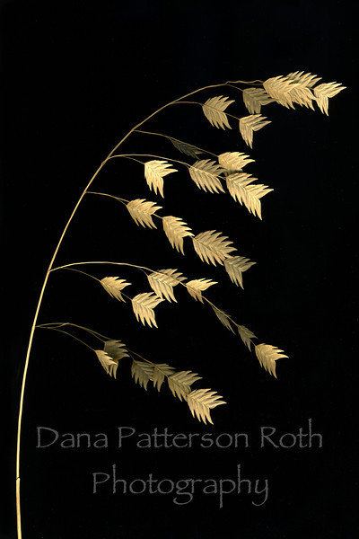 chasmanthium latifolium #1 (river oats)