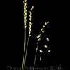 Lemus cinereus #3 (wild ryegrass)