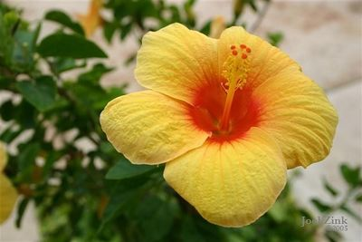 A yellow Hibiscus (Small)