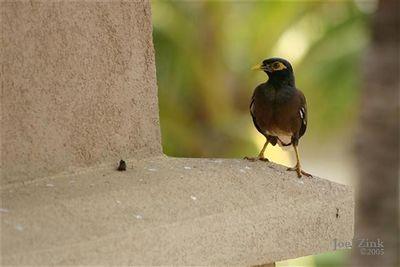 A Hawaiian bird (Small)