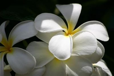 A bunch of plumaria flowers (Small)