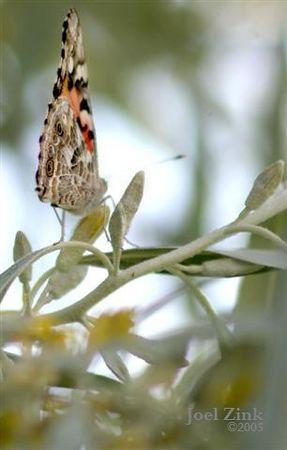 Nevada Butterflies