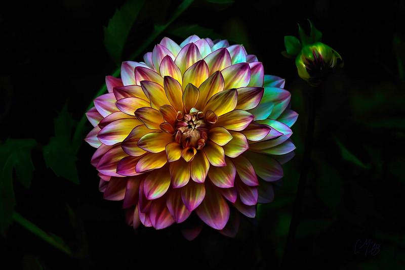 Chrysanthemum, 2003