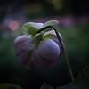 Shy Lotus, 2003
