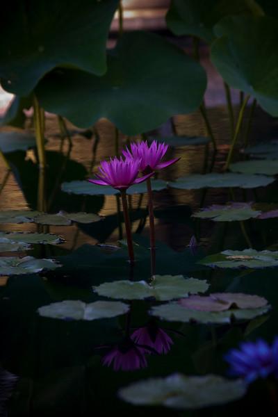 Two Purple Water Lilies