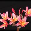 Plumeria stilllife