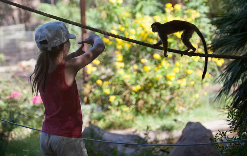 A girl chases a Squirrel Monkey at the Phoenix Zoo.
