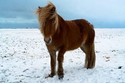Icelandic horse alone