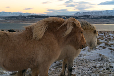 icelandic horse sunset