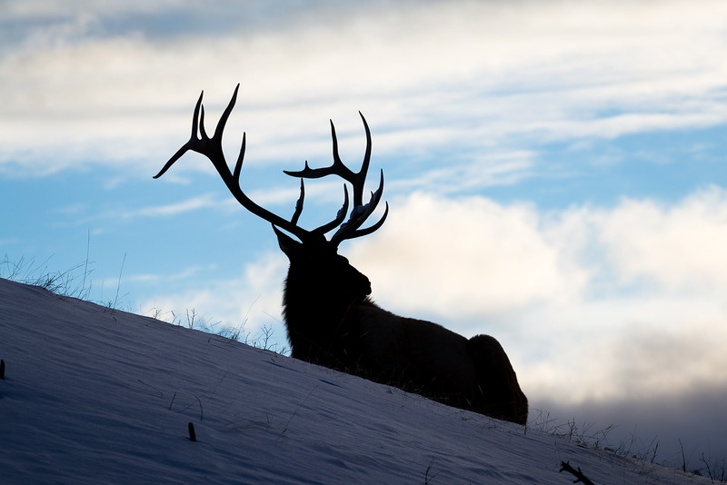 Bull elk in southwest Montana