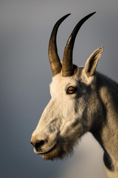 Mountain Goat, Montana.
