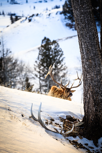 Montana bull elk with what is likely his right shed antler from the previous spring.