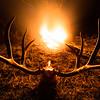 Mule deer. Montana.