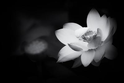 _N147479 Lotus Blossom BW