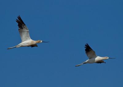 American Avocet  Owens Lake 2013 08 17 (1 of 1).CR2