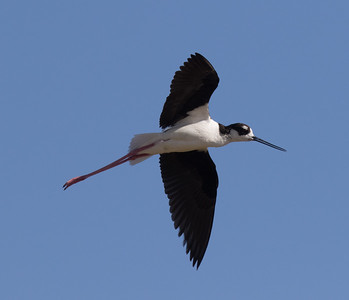 Black-necked Stilt Harper Dry Lake 2018 06 23-2.CR2