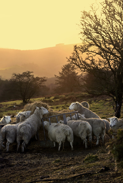 Sheep near the Stiperstones.