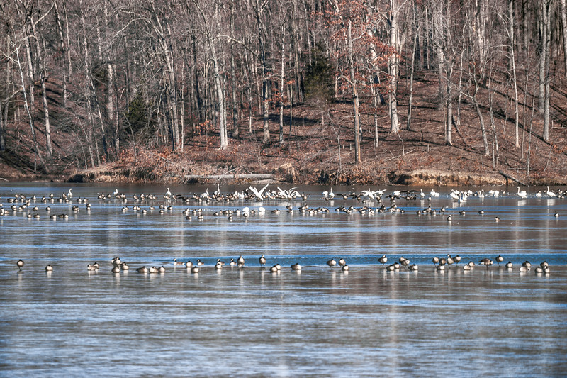 016-Lincoln-Trail-State-Park-Illinois-Geese-Winter-Lee-Mandrell