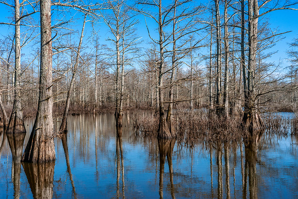 024-Cache-River-Wetlands-Illinois-Cypress Trees-Swamp-Lee-Mandrell
