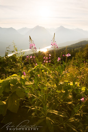 backlit fireweed