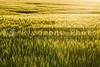 A large farm field of winter wheat.