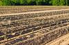 Healthy tobacco plants on a farm field.