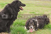 A pure bred border collie and a black labrador.