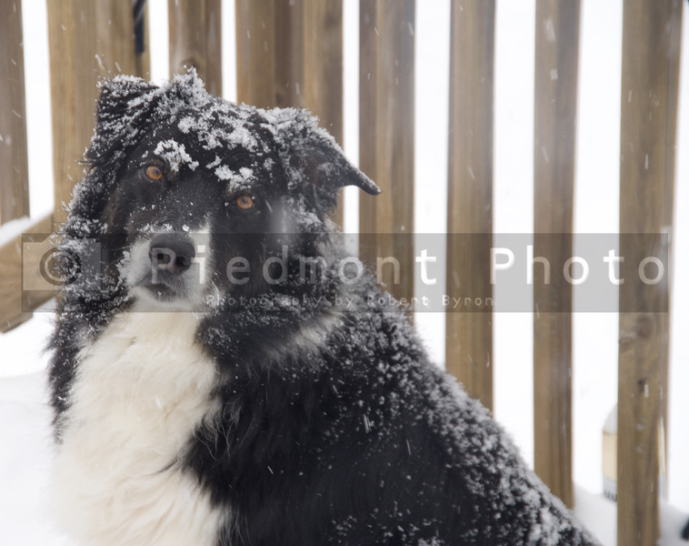 A purebred border collie in the snow.