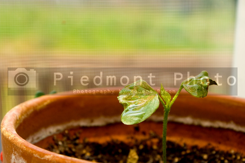 A young cotton plant that has just sprouted.