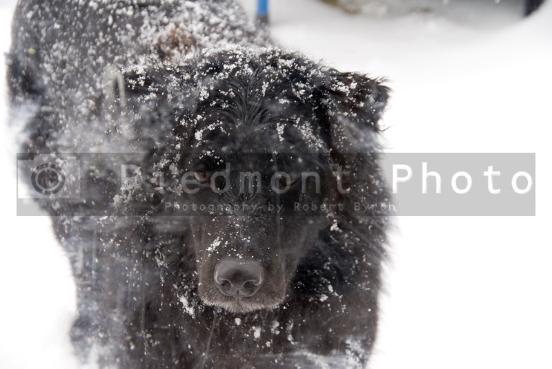 A black labrador Retriver mix in the snow.